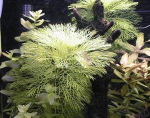 水草 ジャイアントアンブリア