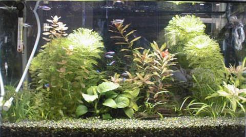 上部濾過器+蛍光灯2本を使った水草水槽の例