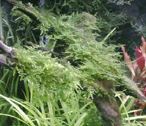 流木に活着させた南米ウイローモス