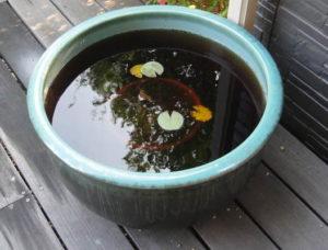 蚊の対策に設置したスイレンの鉢