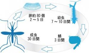 蚊のライフサイクル