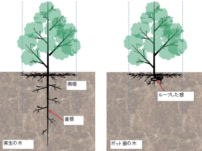 実生とポット苗の根の違いを比較した模式図