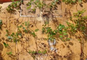 庭に散らばるトキワマンサクの実生苗を集めてみた様子