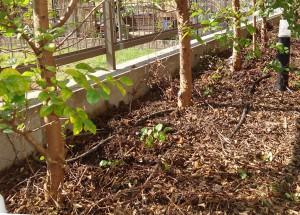 実生苗を植えたところ(2014年10月)