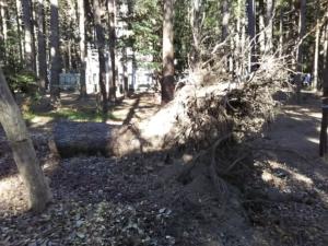 台風で倒れた大木の根