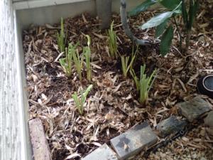 北側の坪庭に植えた白ヒメジャガ