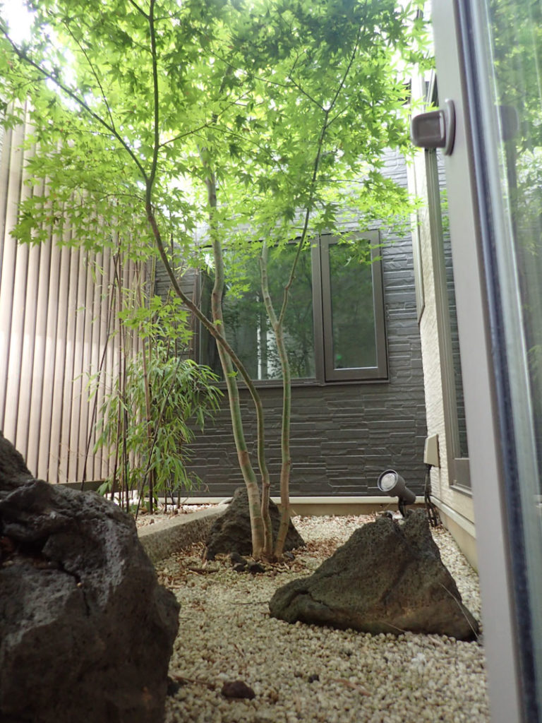 北側の坪庭に植えたヤマモミジ