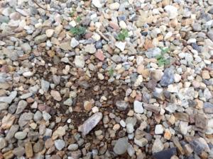 砂利に園芸用の土を混ぜてみた様子