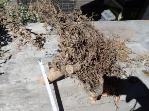 山茶花(ポット苗)の根を掘り出してみた様子