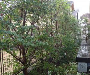 庭に植えたトキワマンサク